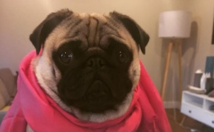 pug pinkshirt and cupcake